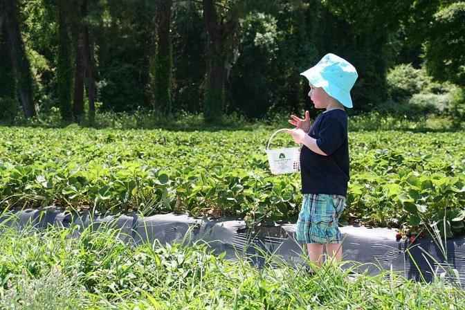 Strawberry Picking at Boone Hall Farms